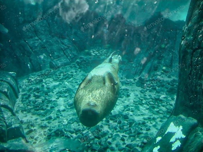 A female walrus swimming underwater upside down.