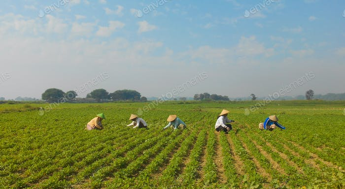 Rice culture in Myanmar