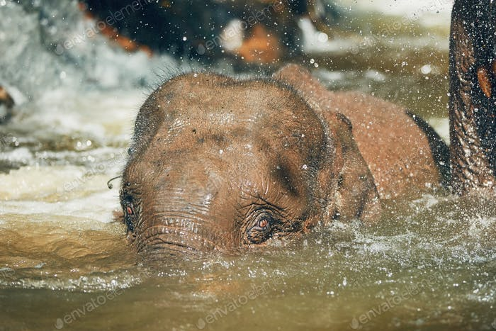 Young Asian Elephant playing in the river. Tropical rainforest in Chiang Mai Province, Thailand.