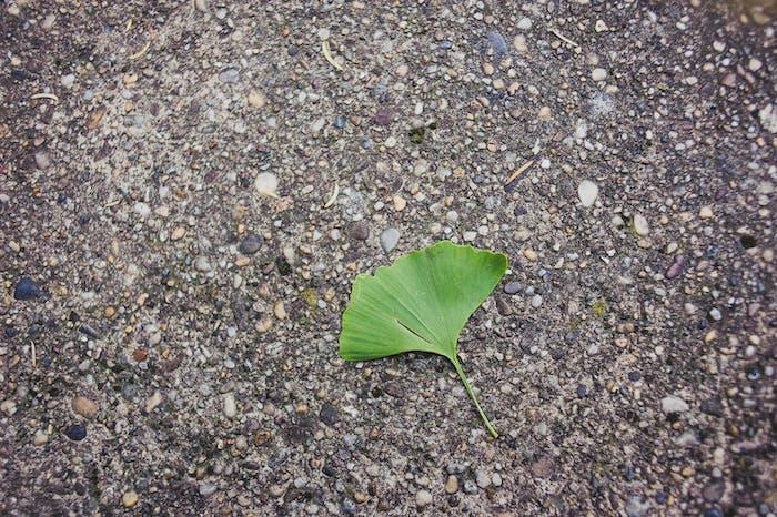 Gingko biloba leaf laying in the ground.