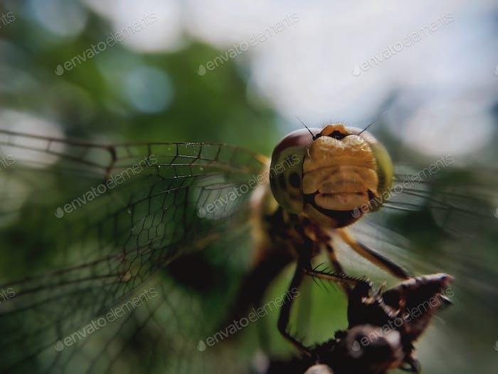 Libelle breitet seine Flügel aus