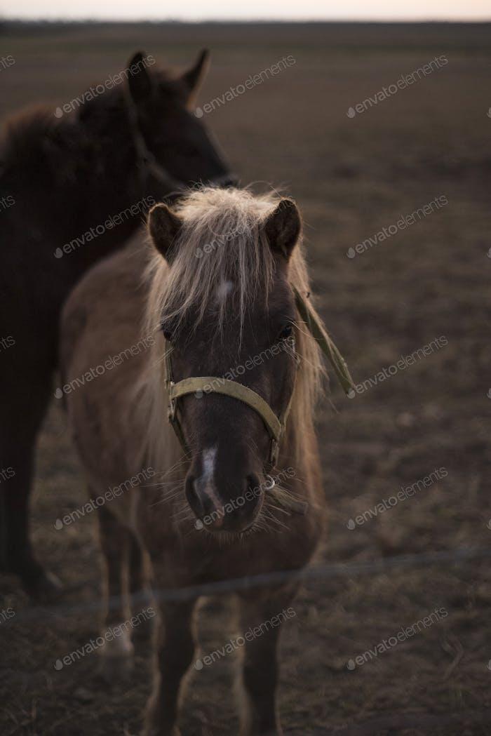 Blondes Pony