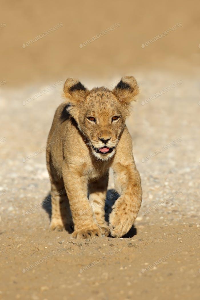 Small African lion cub (Panthera leo) running, Kalahari desert, South Africa