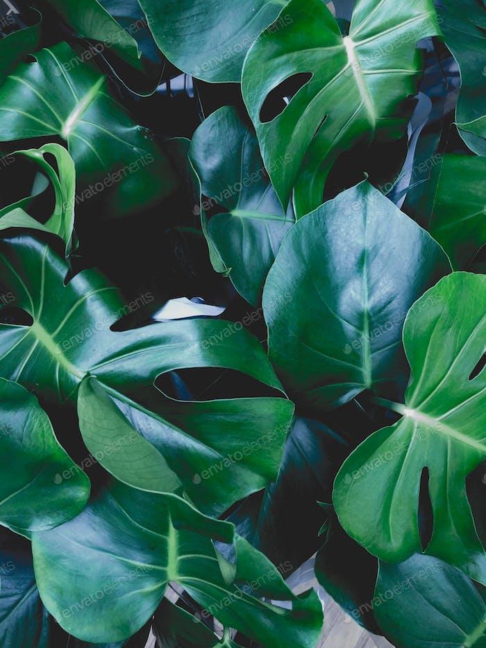 Monstera plant - background