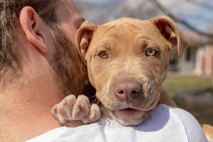 Pit bull puppy looking over a mans shoulder