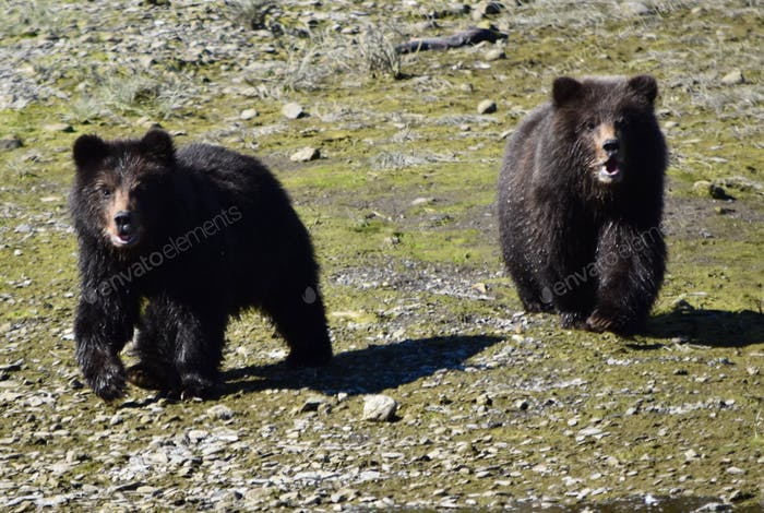 Baby grizzly bear cubs crying for Momma as they approach us