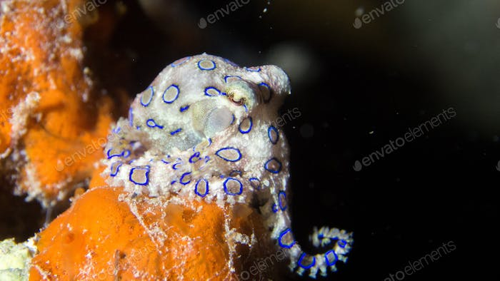 Tiny but deadly blue ring octopus