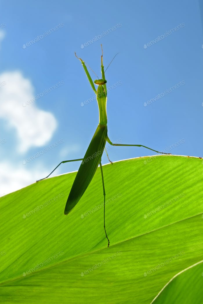 A mantis perches on the leaf