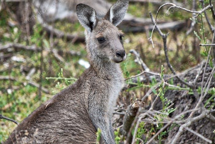 Adolescent Kangaroo in the wild