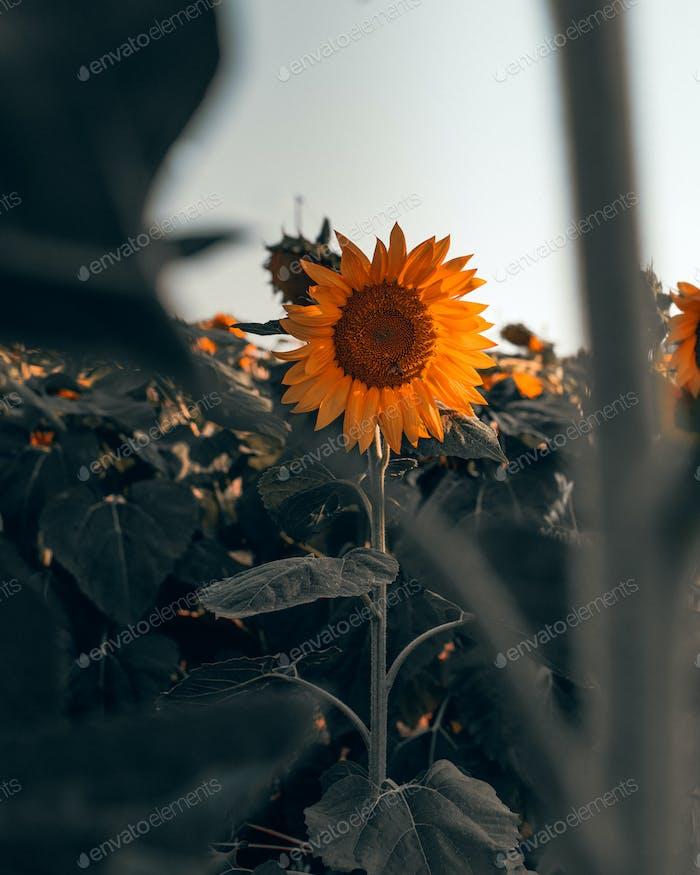 Sun flower in a field