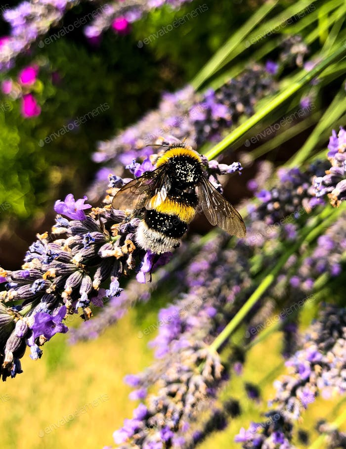 kleine Hummel auf Lavendel -Nominiert- 🐝