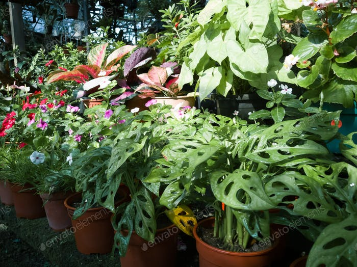 monstera adansonii and various green plants in the nursery