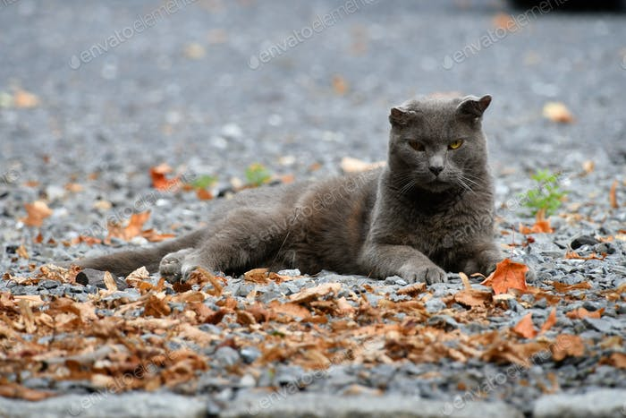 short-haired grey cat, which is possibly stray or feral feline, laying in dirt, gravel and leaves