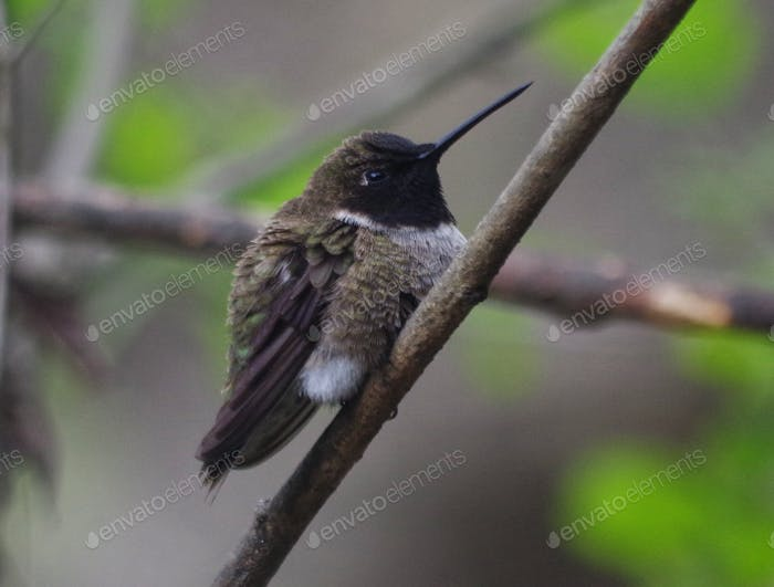 Hummingbird in Spring