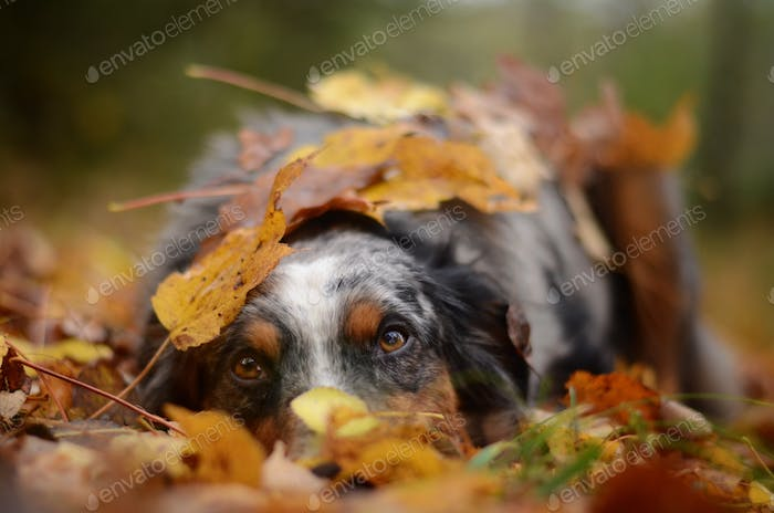 Holly in the orange leaves