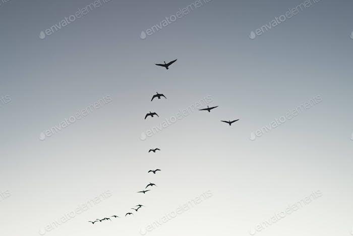 A flock of birds migrating