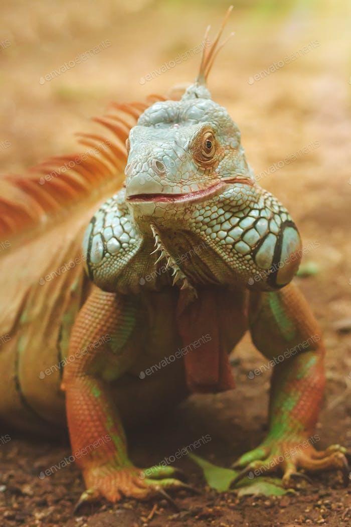 Green giant iguana portrait