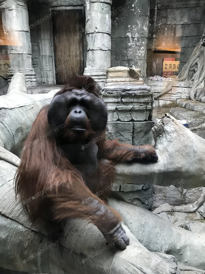 Joe, the orangutan, at the Erie Zoo.