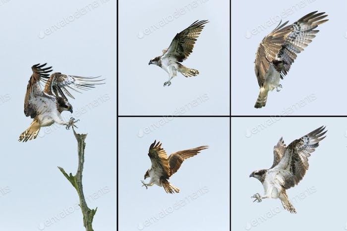 Bird of Prey - Osprey (Pandion haliactus)