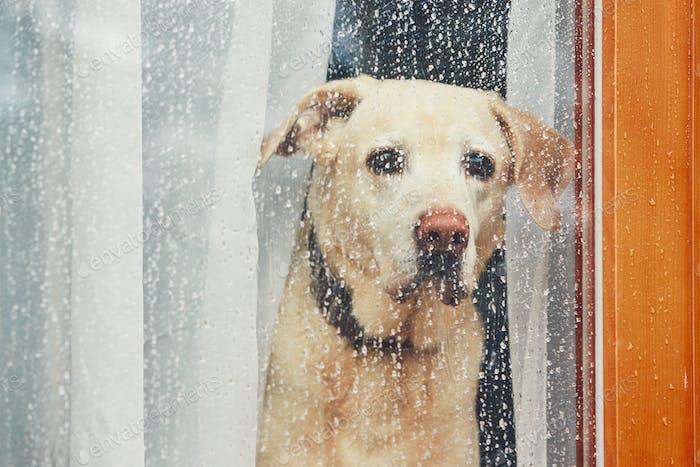 Sad dog waiting alone at home. Labrador retriever looking through window during rain.