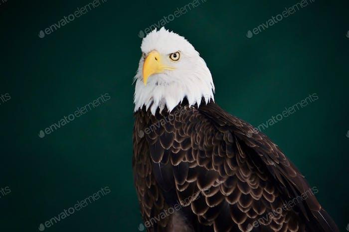 Weißes Adler