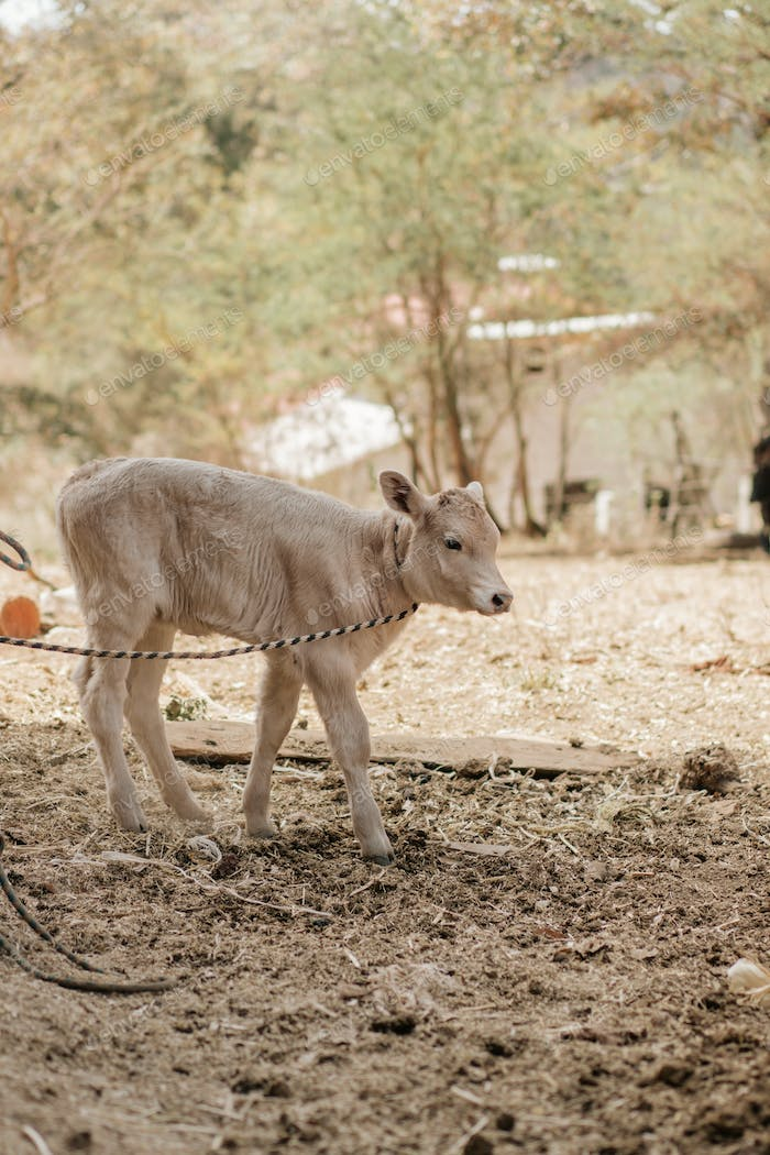 Calf, waiting for mealtime