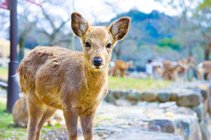 Pequeño ciervo lindo animal en la naturaleza japón nara