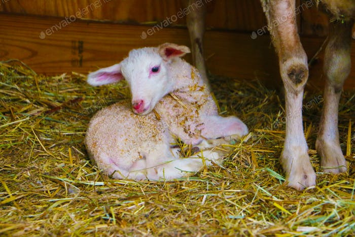 Natural background of baby lamb resting comfortably after nursing on mom in the barn.