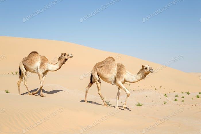 Nahöstliche Kamele zu Fuß in der Wüste in den VAE