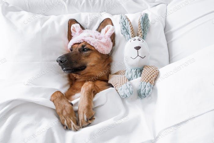 Настроение выходного дня! 💤 Симпатичная сонная собака лежа, спрятанная в постели с ее игрушкой