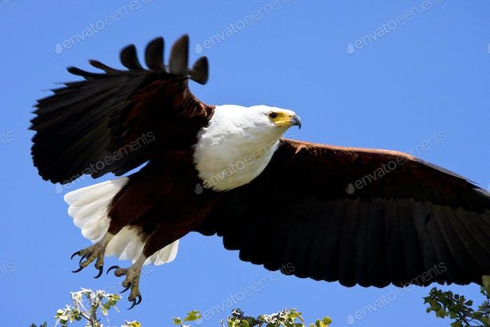 African Fish Eagle (haliaeetus vocifer) - Botswana, Africa.