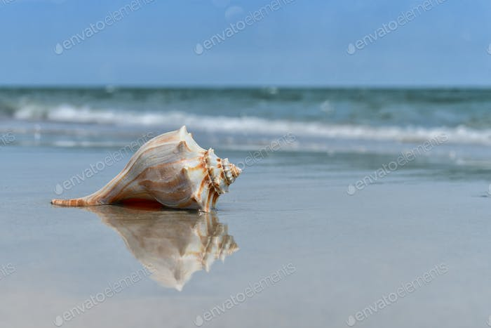 Seashell washed up on the beach at the ocean