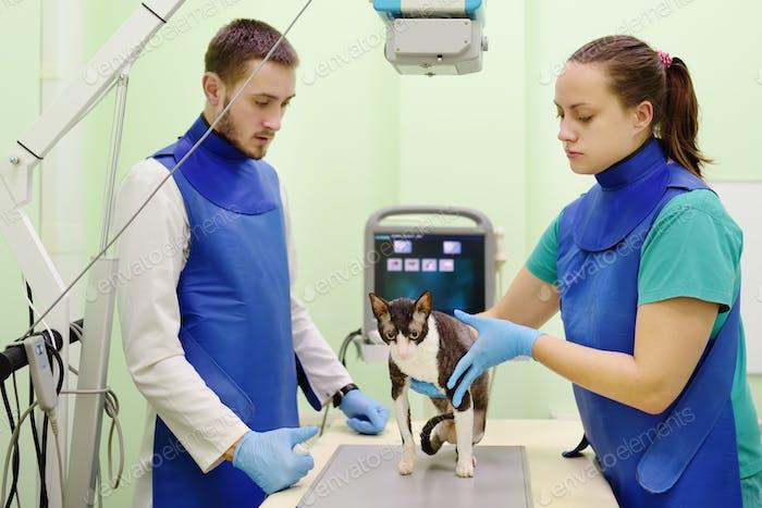 Dos médicos veterinarios harán una radiografía de la raza gato Cornish Rex durante el examen.