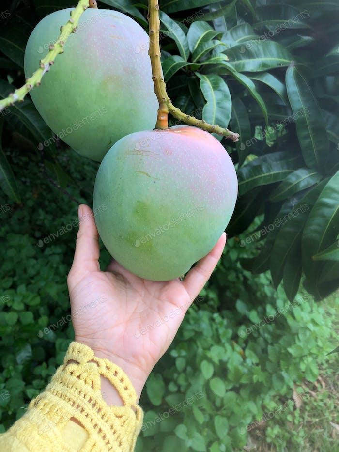 Mango pflücken