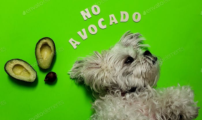Cute doggie knows not to eat avocados because they cause kidney failure in dogs and are taboo for