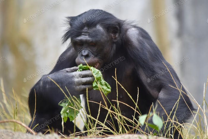 Older bonobo eating some leaves at the San Diego Zoo