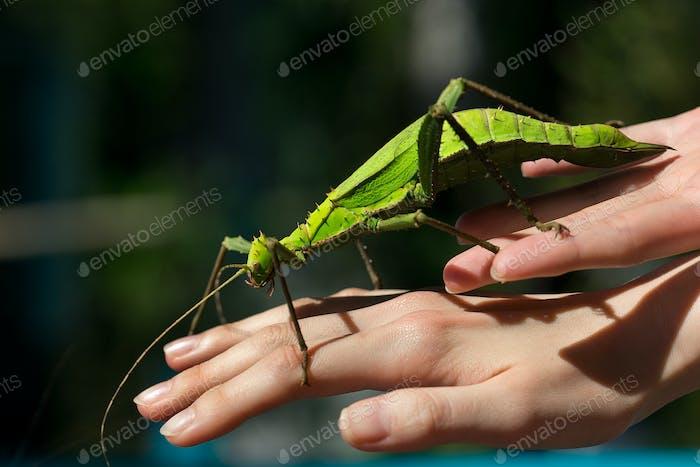 Der Gehstock Insekten