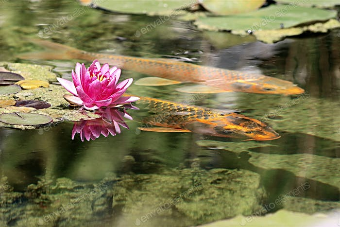 Reflective image of two Koi swimming near a beautiful pink Lotus floating in crystal clear water