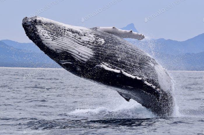 Love is a breaching Humpback Whale!