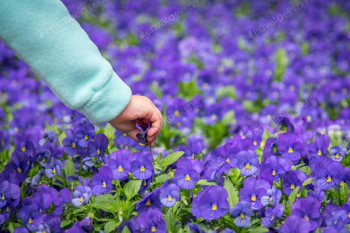 Patch of purple pansies