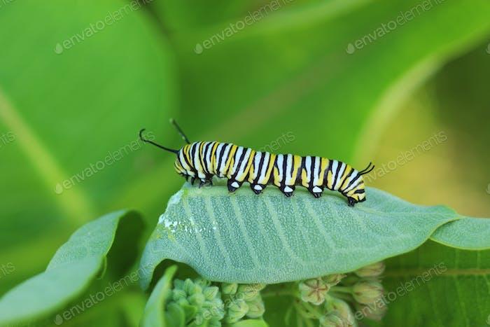 Monarch caterpillar crawling on a milkweed plant.
