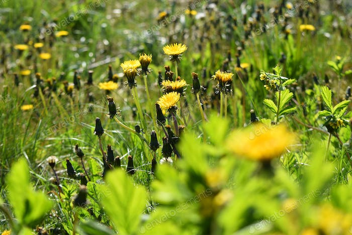 Dandelions and hay fever and allergies. Allergy season