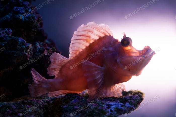 Bottom-dwelling fish. Exotic fish at the bottom of the sea. Underwater portrait.
