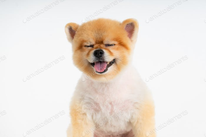 Isolated closeup portrait Pomeranian dog smiling with funny face on the white background.