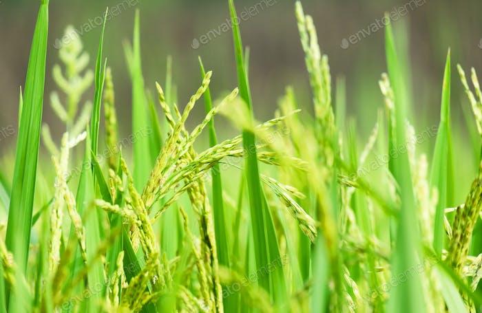 Close up of paddy