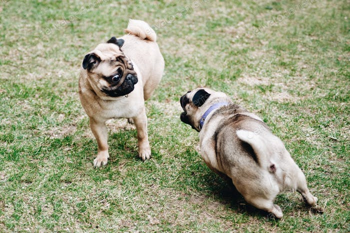 perfect pets dog pugs