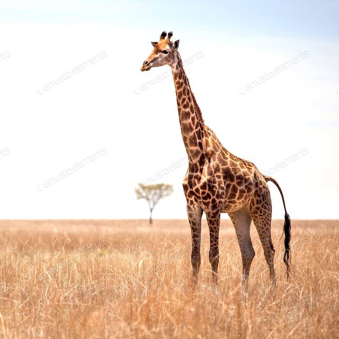Giraffe on savannah.