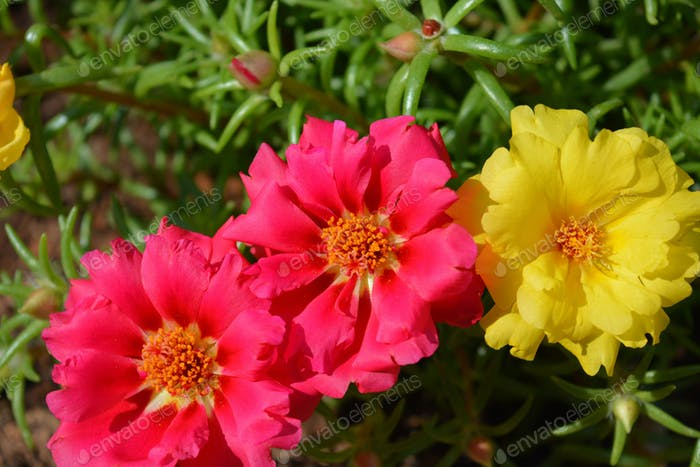 Moss rose flowers, also known as Purslane or Portulaca. Bright red flower, close up