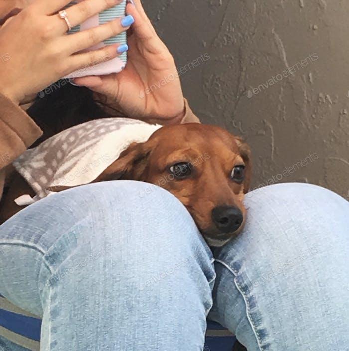 Dog sitting on woman's lap
