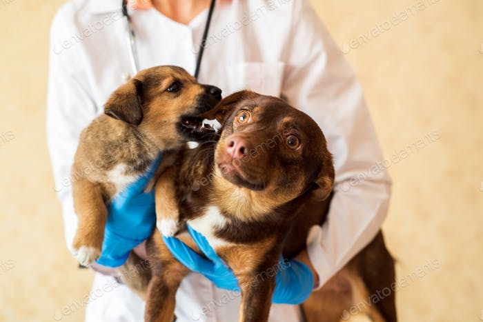 two pets - a dog and a puppy, a mongrel dog on examination in a veterinary clinic, hands of a veteri